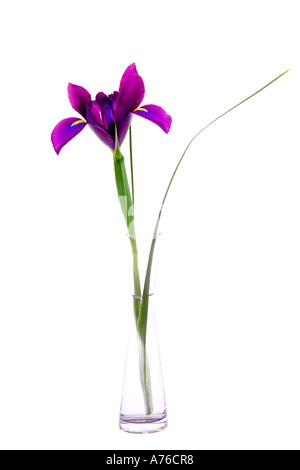 A purple mauve magenta iris in a glass specimen vase on pure white background. - Stock Photo