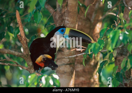 Close up of a brightly coloured Channel-billed Toucan (Ramphastos vitellinus) perched in tree. - Stock Photo