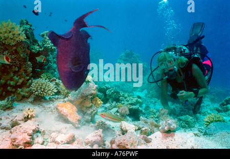 A scuba diver observing a Redtooth triggerfish (odonus niger) feeding from the coral reef. - Stock Photo