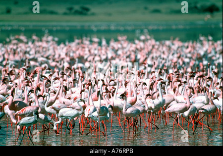Compressed perspective view of a large flock of pink Lesser flamingoes (Phoenicopterus minor) feeding off the algae - Stock Photo