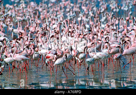 Compressed perspective view of a large flock of  pink Lesser flamingoes (Phoenicopterus minor)  feeding off the - Stock Photo