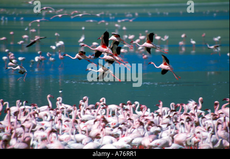 A large flock of Lesser flamingoes (Phoenicopterus minor) feeding off the algae in the lake with some birds in flight - Stock Photo