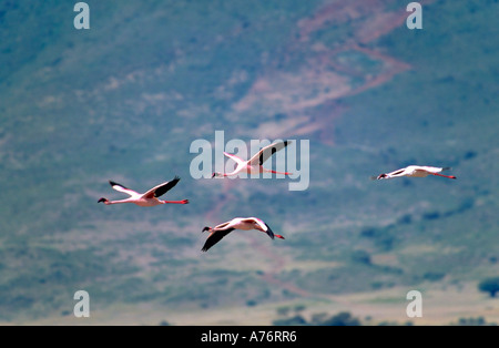 Close up of four pink Lesser flamingoes (Phoenicopterus minor) in flight at the Ngorongoro Crater. - Stock Photo
