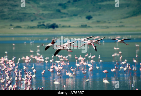 A flock of Lesser flamingoes (Phoenicopterus minor) feeding off algae in the lake with several of them in flight. - Stock Photo