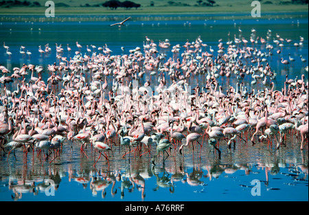 A large flock of pink Lesser flamingoes (Phoenicopterus minor) feeding off the algae at a lake in the Ngorongoro - Stock Photo