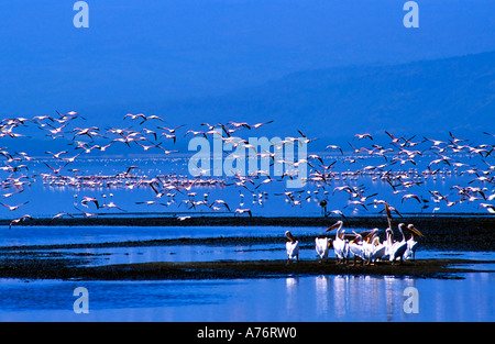 A flock of Lesser flamingoes flying over a group of Great white pelicans (Pelecanus onocrotalus) on Lake Nakuru. - Stock Photo