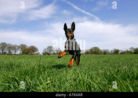 Running doberman pinscher - doberman - male - domestic dog - Stock Photo
