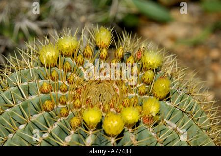 Blue Barrel Cactus Ferocactus glaucescens Saguaro National Park - Arizona -  USA - Stock Photo