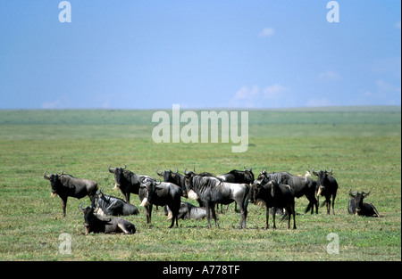 A small herd of wildebeest aka gnu (Connochaetes gnou) resting on the grass plains of the Serengeti National Park. - Stock Photo