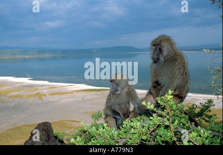 A mother and young infant olive baboon (Papio anubis) perched in a tree overlooking lake Nakuru. - Stock Photo