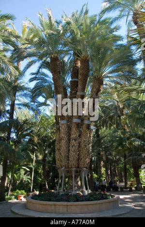 Imperial plam tree Priest Orchard in The Elx Palm Grove ELCHE Spain - Stock Photo