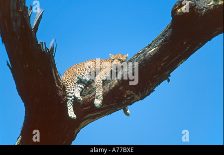 A leopard (Panthera pardus) relaxing in a dead tree against a clear blue sky in the Serengeti National Park. - Stock Photo