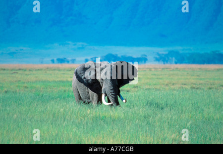 A threatening mature bull African Elephant (loxodonta africana) in long grass. - Stock Photo