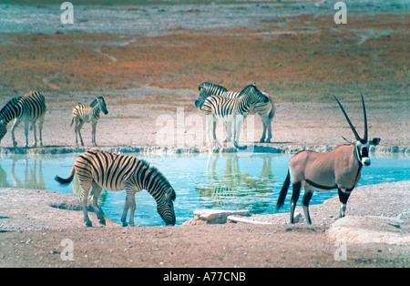 Oryx (Oryx gazella) and zebra (Equus quagga) at a water Hole in the Etosha National Park. - Stock Photo
