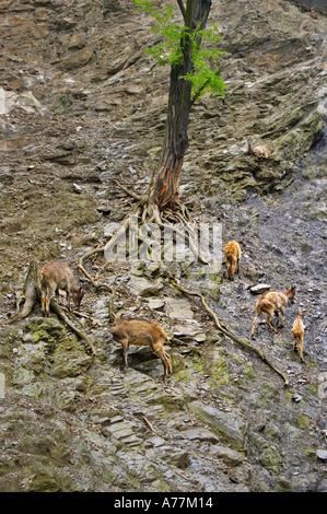 Mountain goats at the Prague Zoo Prague Czech Republic - Stock Photo