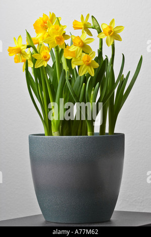Yellow daffodils in a pot on a table. - Stock Photo