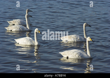 family of adult and juvenile Whooper Swan cygnus cygnus swans in lake water - Stock Photo