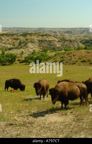 AJD57263, Medora, ND, North Dakota, Theodore Roosevelt National Park, South Unit, bison, buffalo herd - Stock Photo