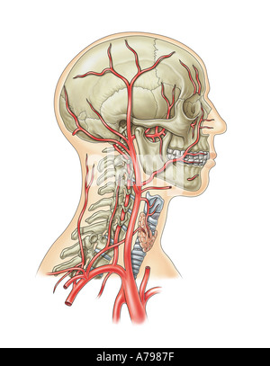 Arterial blood Supply Head and Neck - Stock Photo