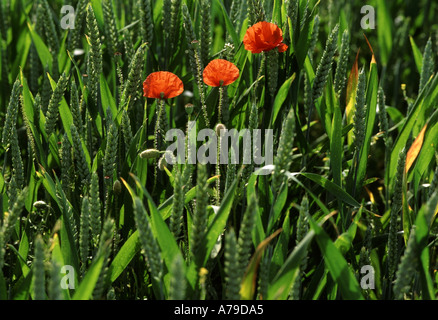 three poppies in a field of unripened wheat valley of the somme picardy france - Stock Photo