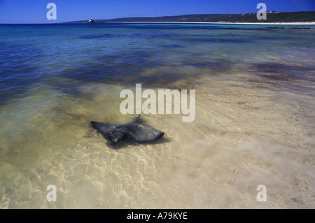 Eagle ray stingray Aetobatus sp in the clear shallow waters of Hamelin Bay - Stock Photo