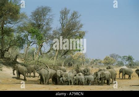 A breeding herd of elephants clustered around a muddy waterhole in an arid environment Savuti Botswana - Stock Photo