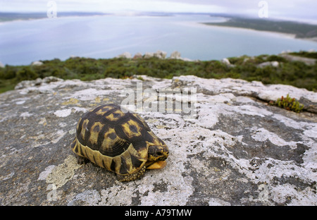 Angulated tortoise on rock overlooking Langebaan lagoon Postberg section West Coast National Park Langebaan - Stock Photo