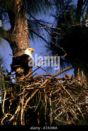 American bald eagle Haliaeetus leucocephalus adult feeding young in the nest  Everglades subtropical marshlands - Stock Photo