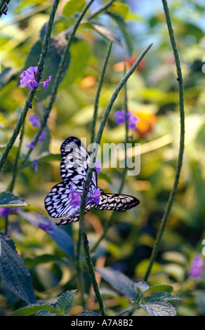 White and black butterfly feeding on a purple flower - Stock Photo
