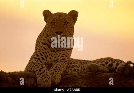 A portrait of a leopard lying on a rock at dusk Sabi Sand Game Reserve Mpumalanga South Africa - Stock Photo