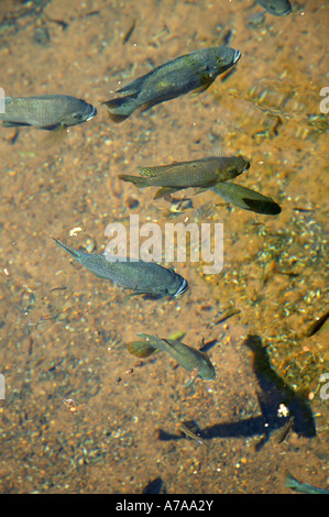 A small school of bream in the crystal clear water of the eye Die oog which is the source of the Kuruman River Kuruman - Stock Photo