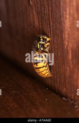 Common Wasp Vespula vulgaris Queen hibernating - Stock Photo