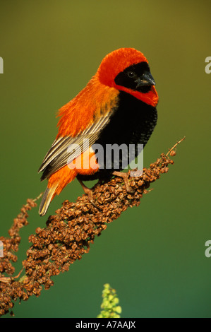 Red bishop perched on branch covered in seed heads Johannesburg Gauteng South Africa - Stock Photo