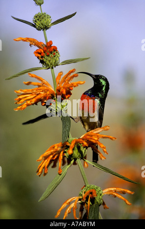 Male greater double collared sunbird feeding on lion's-ear flowers Leonotis leonorus Royal Natal National Park Drakensberg - Stock Photo