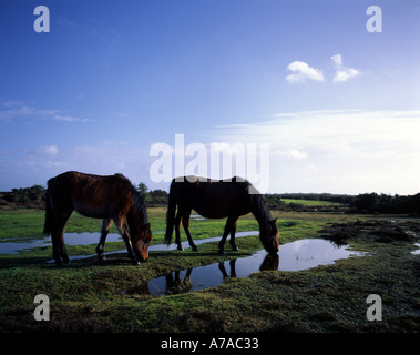 New Forest ponies drinking from puddles of water after heavy rain Hampshire England UK - Stock Photo