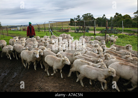 A flock of sheep being herded by a farm worker Bethlehem South Africa - Stock Photo