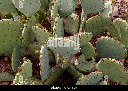 Prickly pear cactus in the Big Bend National Park West Texas - Stock Photo