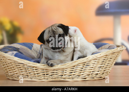 Pug and Ferret in dog s basket Mustela putorius forma domestica - Stock Photo