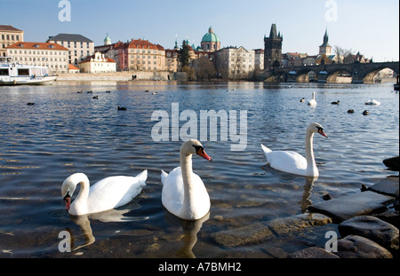 Grace and history, beautiful white swans on the River Vltava, Prague - Stock Photo