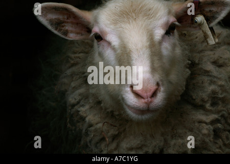 A formal sheep portrait. The sheep is looking at the camera and looks very serious. - Stock Photo