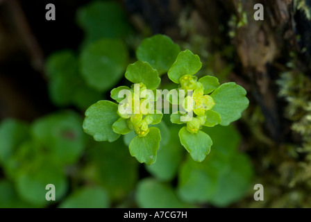 Wood Spurge plant on the forest floor, Spring, Euphorbia amygdaloides, - Stock Photo