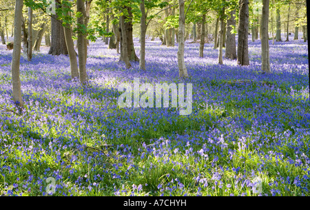 Bluebells carpet oak woodland, Hambleden, Bucks., UK. - Stock Photo