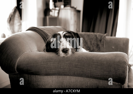 family dog sitting on the sofa resting his head on the arm - Stock Photo
