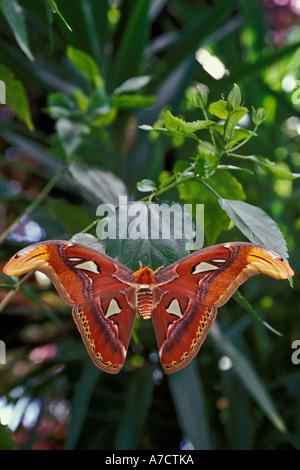 Atlas moth Attacus Atlas Butterfly Garden Victoria British Columbia - Stock Photo