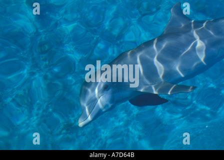 ATLANTIC BOTTLE NOSE DOLPHIN TURSIOPS TRUNCATUS NEAR GRAND BAHAMA ISLAND - Stock Photo
