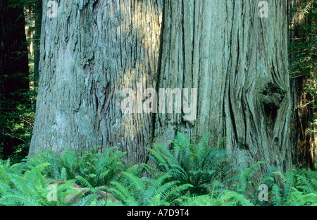 Giant Redwood at Jedediah Smith Redwood State Park, California, USA - Stock Photo