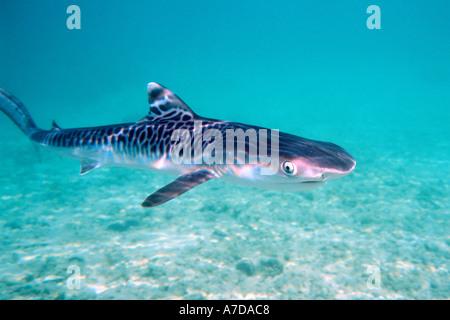 Tiger shark pup Galeocerdo cuvier Oahu Hawaii N Pacific - Stock Photo