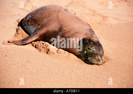 Hawaiian monk seal Neomonachus schauinslandi Barking sands beach Kauai Hawaii North Pacific - Stock Photo