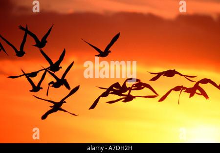 Graugans Graugaense anser anser grey lag goose geese graylag goose europe europa - Stock Photo