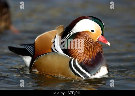 Mandarinenente Madarin Duck Drake Aix galericulata - Stock Photo